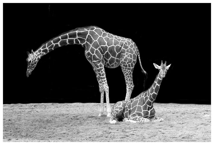 giraffe-50724__480